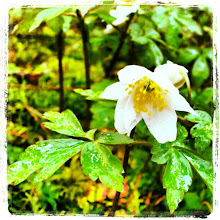 Photo: Wood anemone, 100 metres from home.