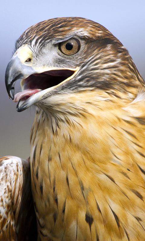 Hawk Wallpaper - Apl Android di Google Play