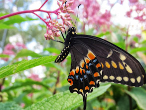 Photo: Butterfly on pink flower buds at Cox Arboretum Butterfly House in Dayton, Ohio.