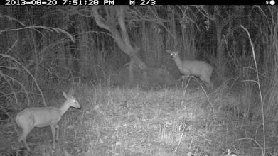 Photo: Duiker and bushbuck Bambi e golungo