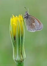 Photo: Coenonympha pamphilus, Fadet commun ou Procris, Small Heath http://lepidoptera-butterflies.blogspot.com/