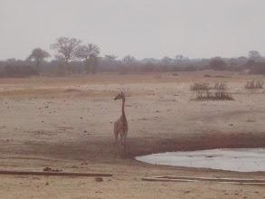 Photo: The giraffe is still looking for danger.