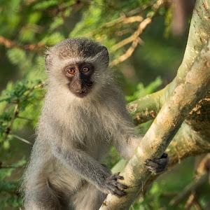 Vervet Monkey wo.jpg
