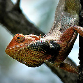 Lizard.... by Shibram Nag - Animals Other ( lizard... )