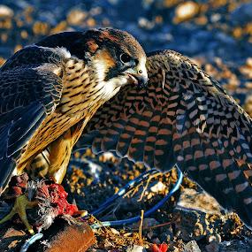by Miodrag Gran Bata Radosavljevic - Animals Birds