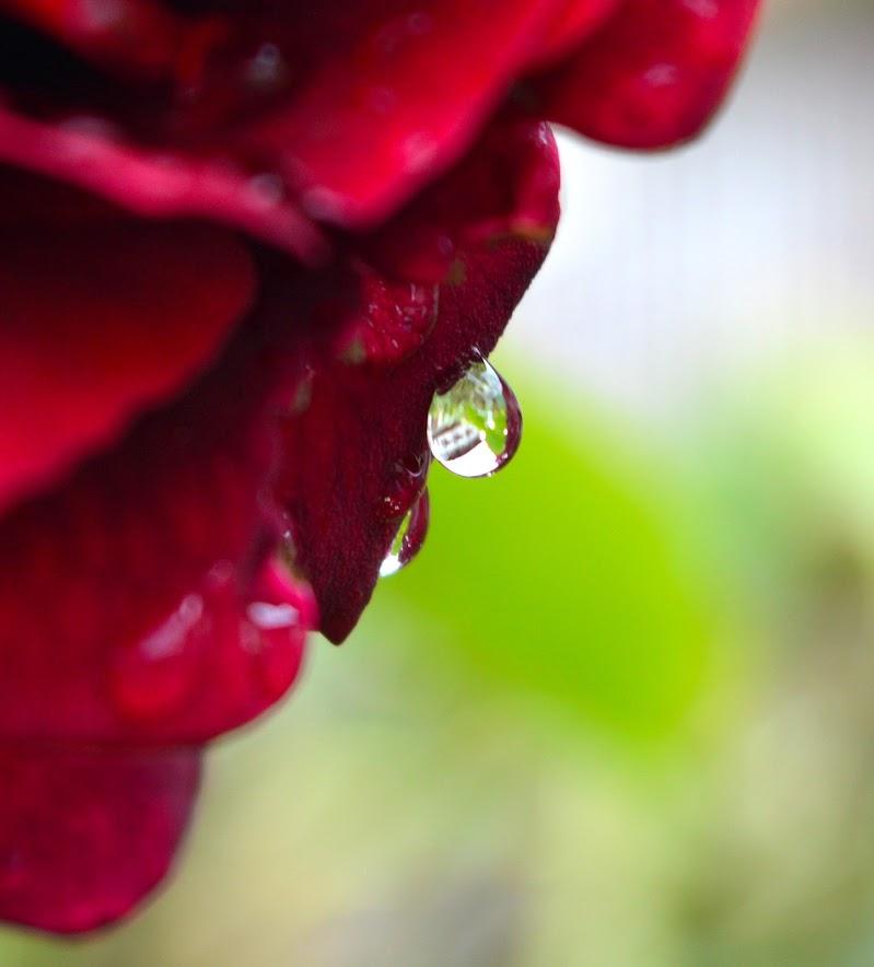 La rosa e la goccia di sere89