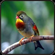 Kicau Burung Robin Terbaru Android Apk Free Download Apkturbo