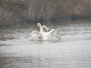 Photo: Priorslee Flash an amorous encounter between the Swans. We'd better gloss over the fact this is father and daughter ... (Ed Wilson)