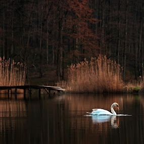 Dreaming by Zoran Rudec - Landscapes Waterscapes ( waterscape, sunset, swan, lake )