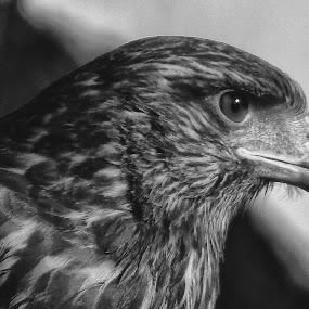 Eagle portrait by Ana Paula Filipe - Black & White Animals ( head, prtrait, bird, eagle, animal )