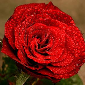 Wet Red Rose Up Side.jpg