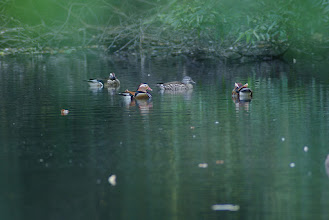 Photo: 撮影者:登坂久雄 オシドリ タイトル:オシドリ 観察年月日:2015/10/25 羽数:6 場所:長池公園 区分: メッシュ:武蔵府中1C コメント:メス2羽、オス4羽。左端にいるオスは換羽の途中です。