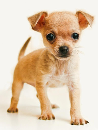 Chihuahuas Wallpapers HD FREE