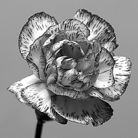 Black Edged! by Chrissie Barrow - Black & White Flowers & Plants ( monochrome, single, petals, black and white, carnation, mono, flower )