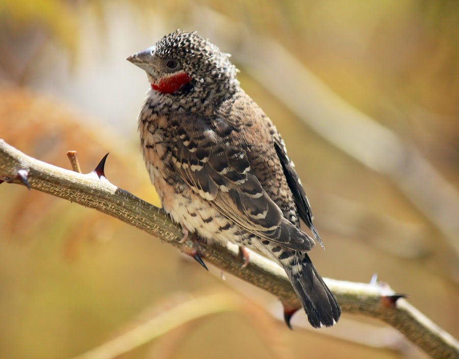 Cut-throat finch by Susan Botha - Novices Only Wildlife
