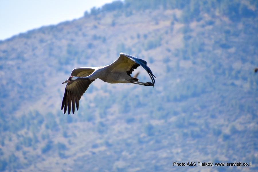 Серый журавль самец. Заповедник птиц Хула.