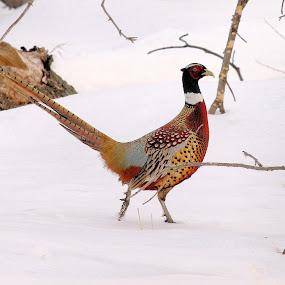 High Stepper ! by Jan Siemucha - Animals Birds ( winter, pheasant, ring neck pheasant, snow, male, rooster )