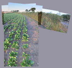 Photo: Cabbage field (Combe Hill)