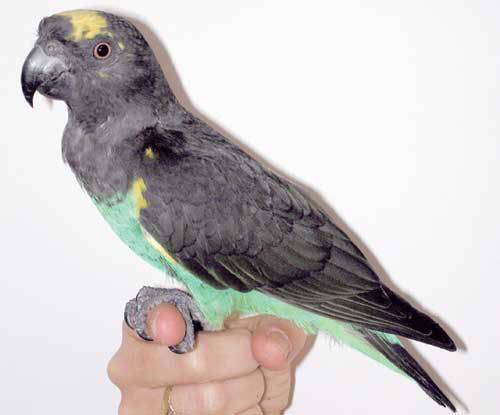 The meyer's parrot, a member of the Poicephalus genus, can be an enjoyable pet