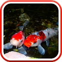 Real Pond With Koi Video LWP icon