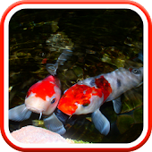 Real Pond With Koi Video LWP