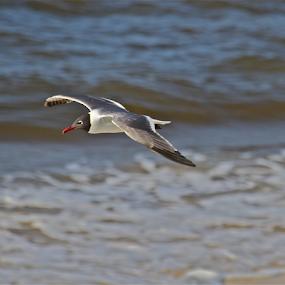 Gliding Gull  Style by Susannah Lord - Animals Birds ( bird, water, gull, red, seagull, style, gulf, beak, glides, surf, flies, gliding,  )