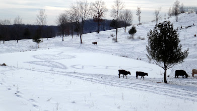 Photo: Cows scribe shout out to Paul Wheaton on frozen pond...
