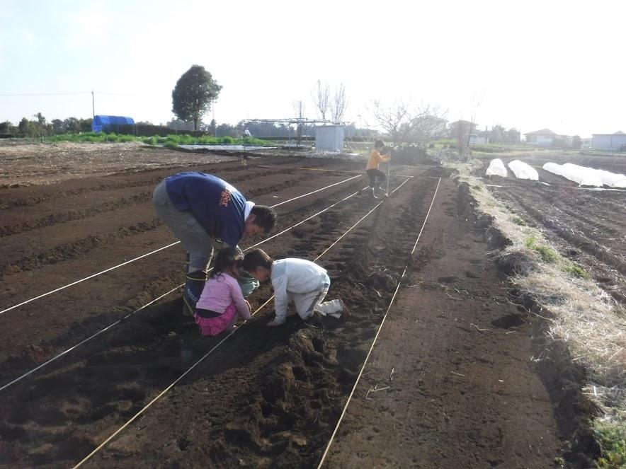 じゃがいもの植え付け。杭で30㎝ごとに深さ10㎝の穴を開け、ジャガイモを植えます。