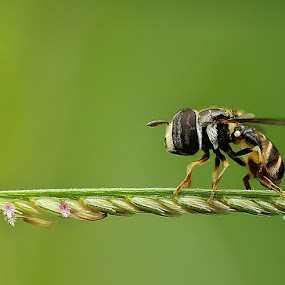 pensive by Angga Putra - Animals Insects & Spiders ( macro, fly )
