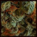 Cannabis Sativa Wallpapers icon