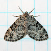 Double-banded Carpet Moth