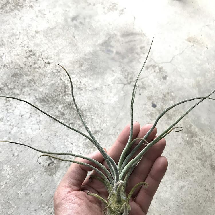Air Plant - Tillandsia Pruinosa Combolia