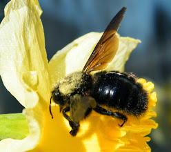 Photo: Xylocope violacé sur jonquille - Remarquez le pollen sur le dos, agent de pollinisation. Celui-ci a manqué l'entrée de la fleur mais il se rattrapera ! lol 21.02.2016