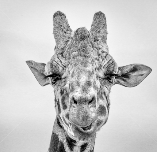 Giraffe portrait by dave lipchen black white animals black and white giraffe