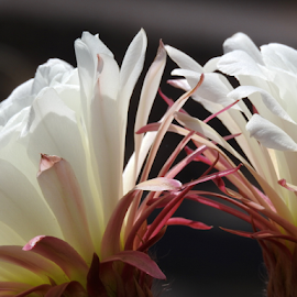 Argentine Cactus Bloom by Kate Purdy - Flowers Flower Gardens ( cactus flower, white, two flowers, nature, cactus, argentine cactus, exotic bloom, flower )