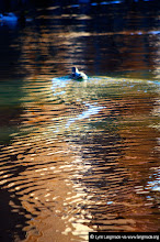 Photo: Posting my photo for #UnsharpSaturday curated by +Nathan Beaulne.  I hope you enjoy this shot of a little duckling gliding serenely in a pond at the Palace of Fine Arts in San Francisco.