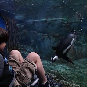 Diving Penguin by VAM Photography - Animals Birds ( young boy, bird, nature, aquarium, travel,  )