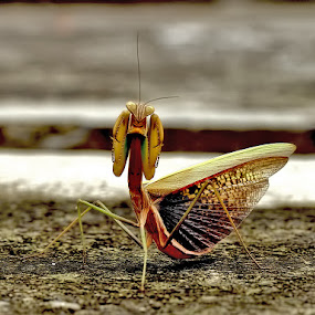 angry damsel by Monica Anantyowati - Animals Insects & Spiders