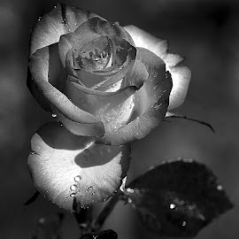 Rose n00124 by Gérard CHATENET - Black & White Flowers & Plants