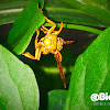 Yellow oriental paper wasp