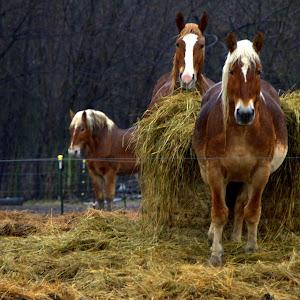 nikon 1-14-17 horse 3.jpg