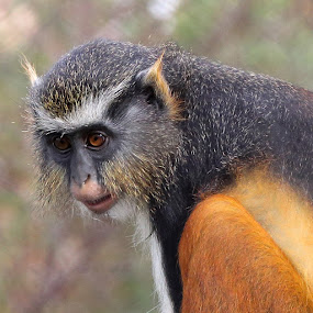 Monkey w/ Tear in His Eye by Mike Vaughn - Animals Other Mammals ( wolf's guenon,  )