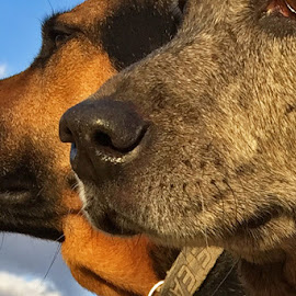 by Danielle Calkins - Animals - Dogs Portraits ( dogs, catahoula cur, dog, nose )