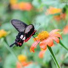Pachliopta aristolochiae 紅珠鳳蝶