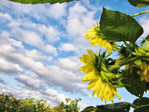 Photo: Sunflowers looking over a field and bright sky at Cox Arboretum and Gardens of Five Rivers Metroparks in Dayton, Ohio.