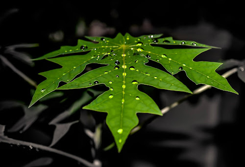 Green on mono by Said Rizky - Nature Up Close Leaves & Grasses ( water, macro, green, leaves, droplets )