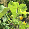 Velvetleaf, Indian Mallow, Butterprint