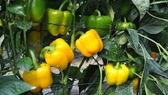 El Pimiento California  en su cultivo temprano es el pilar de la agricultura de Dalías.