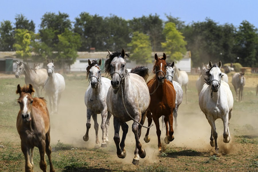 Chase by Flavian Savescu - Animals Horses (  )