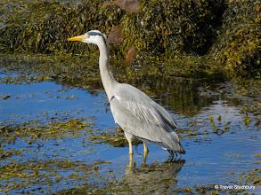 Photo: Grey Heron, Arran